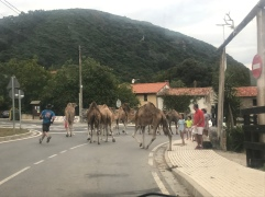 Camels crossing??